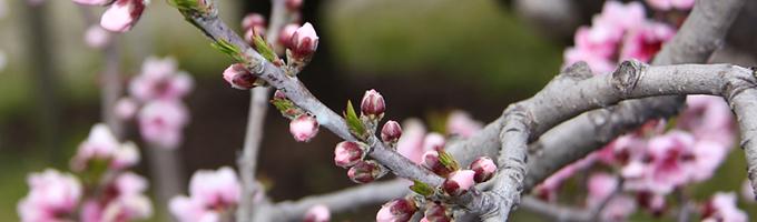 桃の花のつぼみ